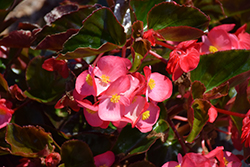 Megawatt™ Rose Bronze Leaf Begonia (Begonia 'Megawatt Rose Bronze Leaf') at Sargent's Nursery