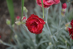 Pretty Poppers™ Electric Red Pinks (Dianthus 'Electric Red') at Sargent's Nursery