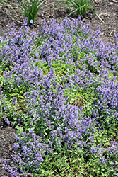 Cat's Pajamas Catmint (Nepeta 'Cat's Pajamas') at Sargent's Nursery