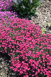 Paint The Town Magenta Pinks (Dianthus 'Paint The Town Magenta') at Sargent's Nursery