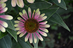 Green Twister Coneflower (Echinacea purpurea 'Green Twister') at Sargent's Nursery