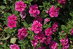 Double Wave Rose Petunia (Petunia 'Double Wave Rose') at Sargent's Nursery