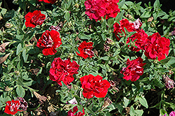 Double Wave Red Petunia (Petunia 'Double Wave Red') at Sargent's Nursery