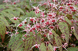 Pink Champagne Fairy Wings (Epimedium 'Pink Champagne') at Sargent's Nursery