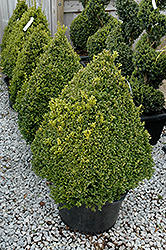 Green Mountain Boxwood (pyramid form) (Buxus 'Green Mountain (pyramid)') at Sargent's Nursery