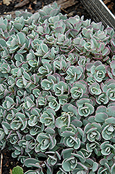 Japanese Stonecrop (Sedum cauticola) at Sargent's Nursery