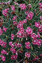 Fire And Ice Pinks (Dianthus 'Fire And Ice') at Sargent's Nursery