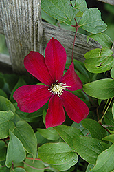 Sunset Clematis (Clematis 'Sunset') at Sargent's Nursery