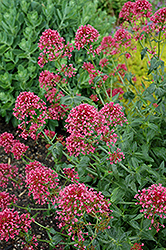 Red Valerian (Centranthus ruber 'Coccineus') at Sargent's Nursery