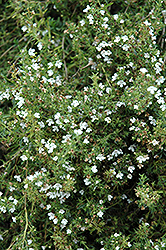 Winter Savory (Satureja montana) at Sargent's Nursery