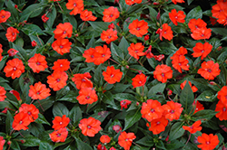 SunPatiens® Compact Orange New Guinea Impatiens (Impatiens 'SunPatiens Compact Orange') at Sargent's Nursery
