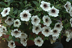 Supertunia® Latte Petunia (Petunia 'Supertunia Latte') at Sargent's Nursery