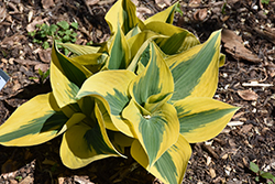 Autumn Frost Hosta (Hosta 'Autumn Frost') at Sargent's Nursery