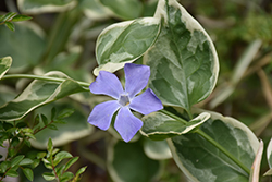 Variegated Periwinkle (Vinca major 'Variegata') at Sargent's Nursery