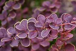 First Editions® Toscana™ Barberry (Berberis thunbergii 'BailJulia') at Sargent's Nursery