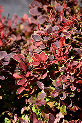Golden Ruby Barberry (Berberis thunbergii 'Goruzam') at Sargent's Nursery