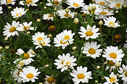 Pure White Butterfly™ Marguerite Daisy (Argyranthemum frutescens 'G14420') at Sargent's Nursery
