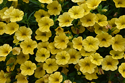 Superbells® Yellow Calibrachoa (Calibrachoa 'Superbells Yellow') at Sargent's Nursery