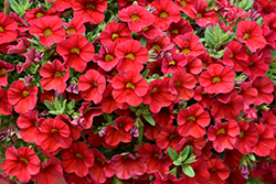Superbells® Red Calibrachoa (Calibrachoa 'Superbells Red') at Sargent's Nursery