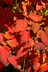 Ruby Frost Red Maple (Acer rubrum 'Polara') at Sargent's Nursery