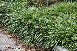 Big Blue Lily Turf (Liriope muscari 'Big Blue') at Sargent's Nursery