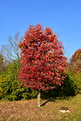 Autumn Flame Red Maple (Acer rubrum 'Autumn Flame') at Sargent's Nursery
