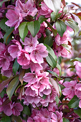 Gladiator™ Flowering Crab (Malus 'DurLeo') at Sargent's Nursery