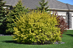 Dart's Gold Ninebark (Physocarpus opulifolius 'Dart's Gold') at Sargent's Nursery