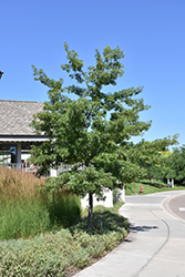 Majestic Skies™ Northern Pin Oak (Quercus ellipsoidalis 'Bailskies') at Sargent's Nursery