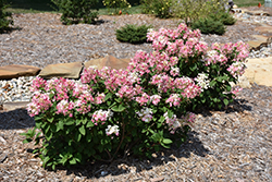 Little Quick Fire® Hydrangea (Hydrangea paniculata 'SMHPLQF') at Sargent's Nursery