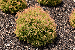 Fire Chief™ Arborvitae (Thuja occidentalis 'Congabe') at Sargent's Nursery
