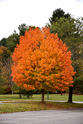 Majesty Sugar Maple (Acer saccharum 'Flax Mill Majesty') at Sargent's Nursery