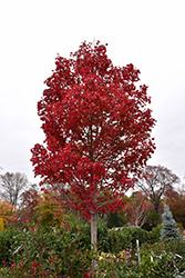 October Glory Red Maple (Acer rubrum 'October Glory') at Sargent's Nursery