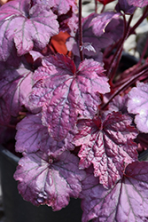 Electric Plum Coral Bells (Heuchera 'Electric Plum') at Sargent's Nursery