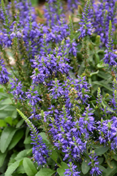 Magic Show® Wizard of Ahhs Speedwell (Veronica 'Wizard of Ahhs') at Sargent's Nursery