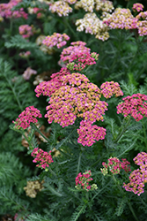 Sassy Summer Taffy Yarrow (Achillea 'Sassy Summer Taffy') at Sargent's Nursery