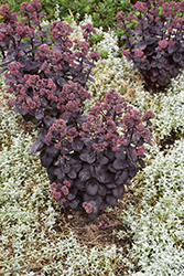 Night Embers Stonecrop (Sedum 'Night Embers') at Sargent's Nursery