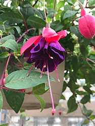 Dark Eyes Fuchsia (Fuchsia 'Dark Eyes') at Sargent's Nursery